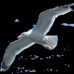 seagull-flying